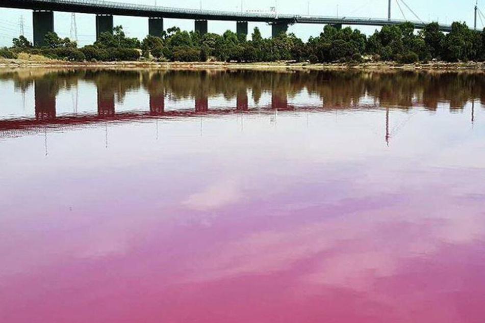 Der See im Westgate Park hat sich pink gefärbt.