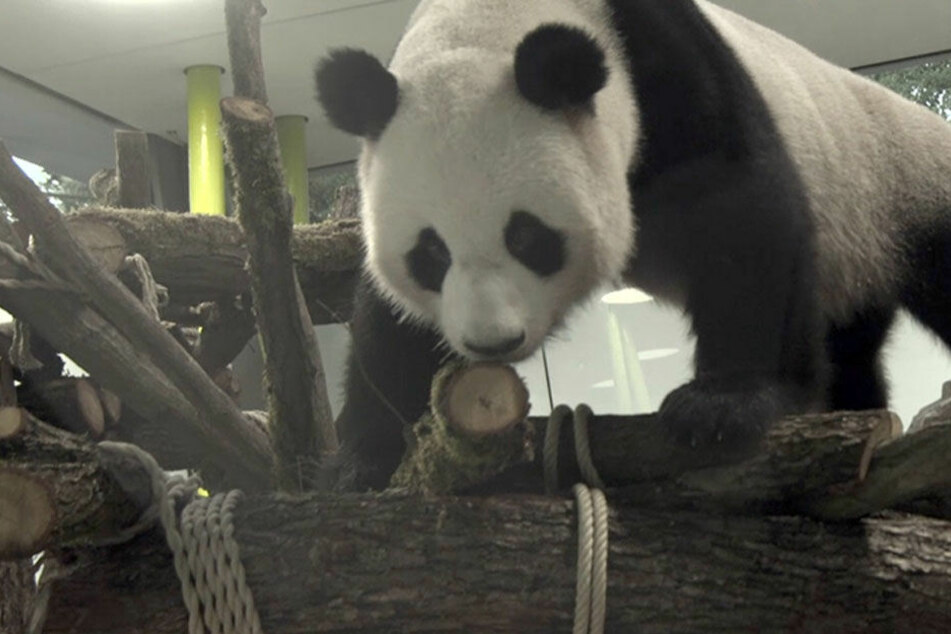"""Gemütlich erklimmt """"Jiao Qing"""" (Schätzchen) die Baumstämme in seinem neuen Wohnzimmer."""