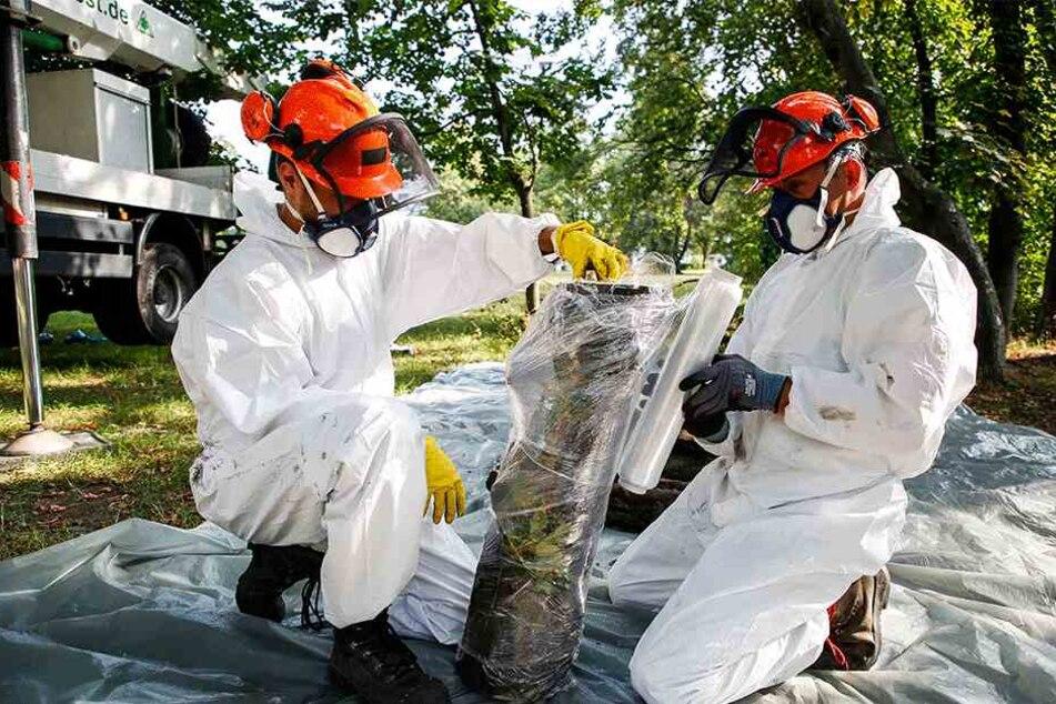 Nur mit Schutzkleidung trauen sich Experten an die giftigen Ahornbäume heran.