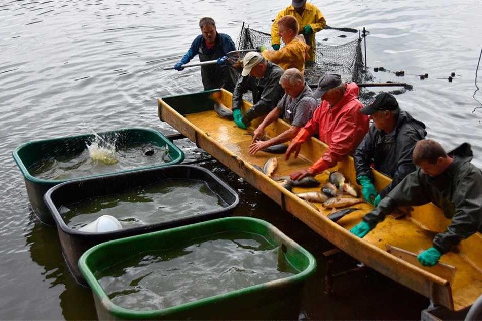 Am frühen Morgen mussten Dienstag alle Fische aus dem Teich geholt werden.