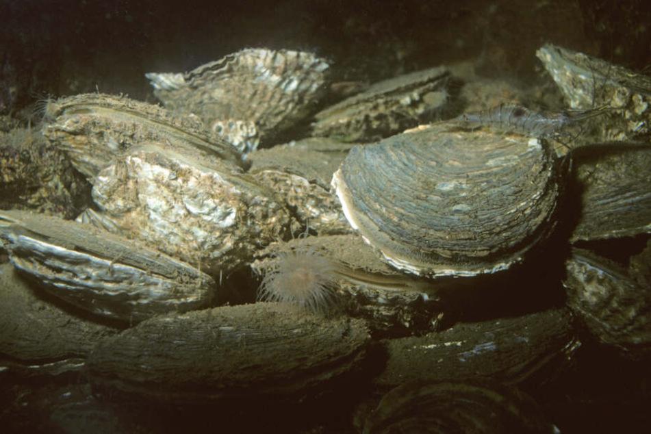 Austern liegen am Meeresboden. (Archivbild)
