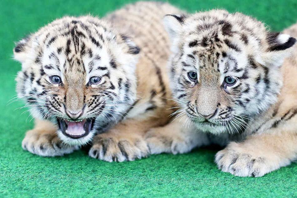 Ob auch die kleinen Tigerzwillinge etwas zum Kindertag bekommen?