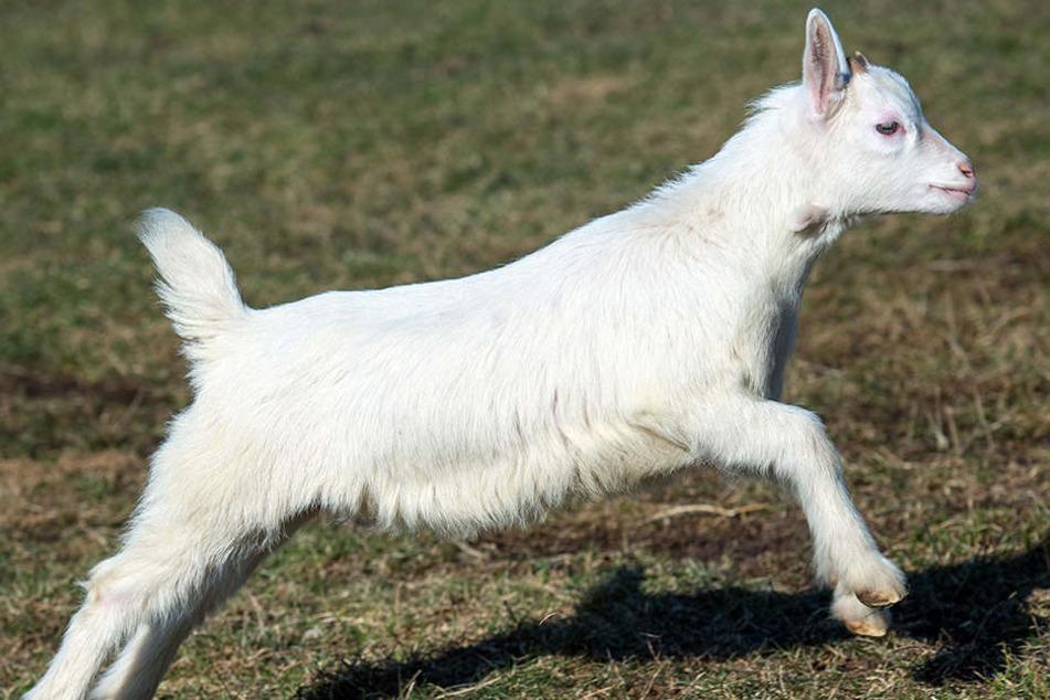 Im Tierpark Neukölln wurde eine Ziege geschlachtet. (Symbolbild)