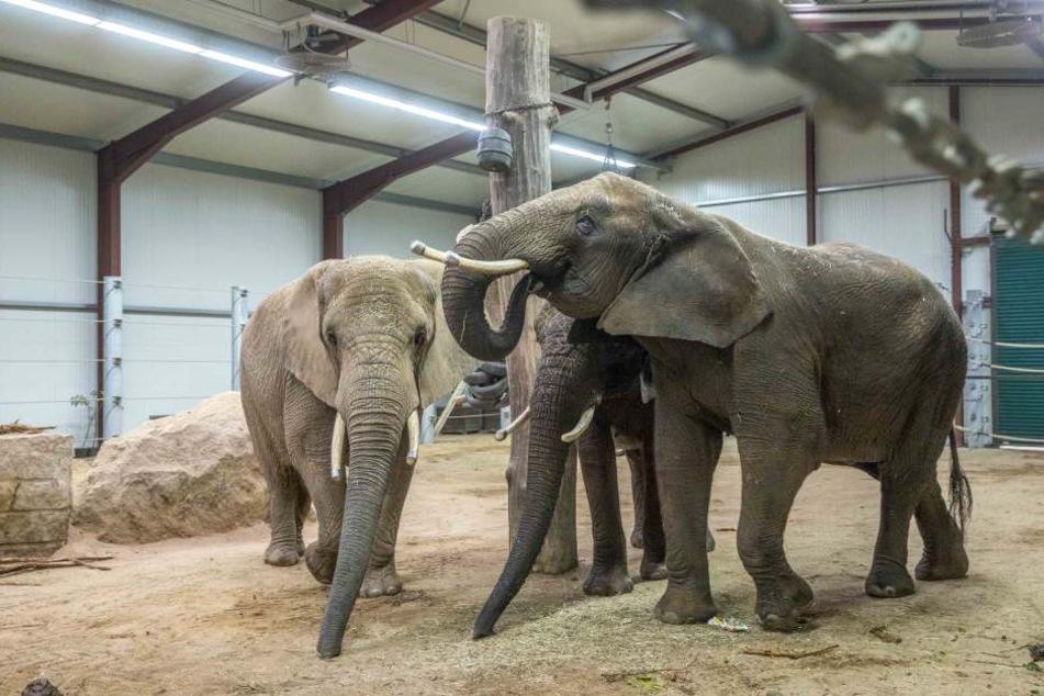 Haben im Winter ein Dach über dem Kopf: die Elefanten des Dresdner Zoos in ihrem Übergangsquartier.