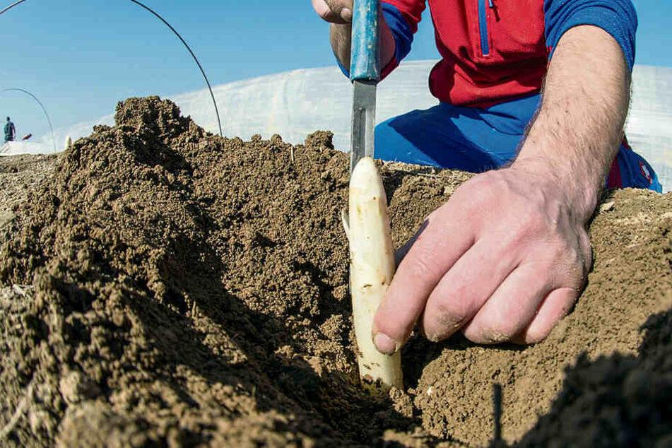 Veronika, der Spargel wächst! Ernte auf Sachsens Feldern startet