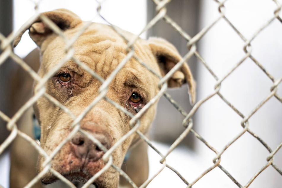 Auch Infektionen der Augen lassen es so wirken, als ob Hunde weinen.