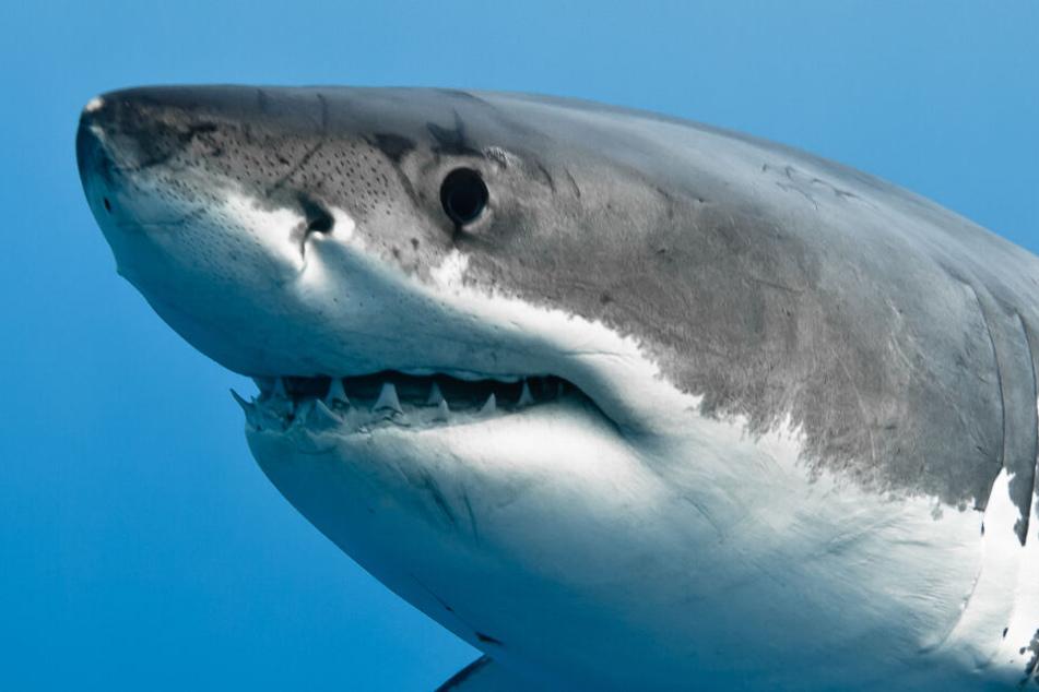 Weißer Hai von einer Gruppe Männern zu Tode misshandelt