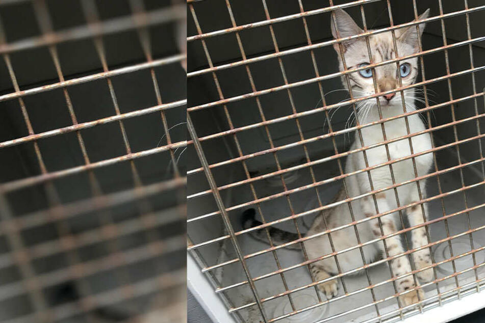 Katze in Bautzen zugelaufen! Wer vermisst sein Haustier?
