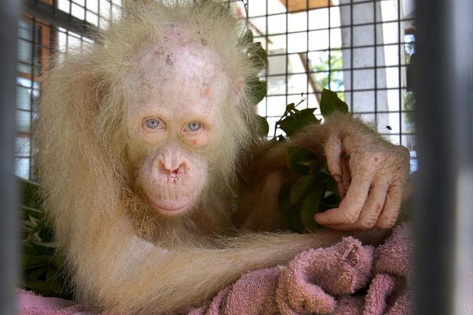Albino-Orang-Utan Alba in einem Tierheim in Indonesien.
