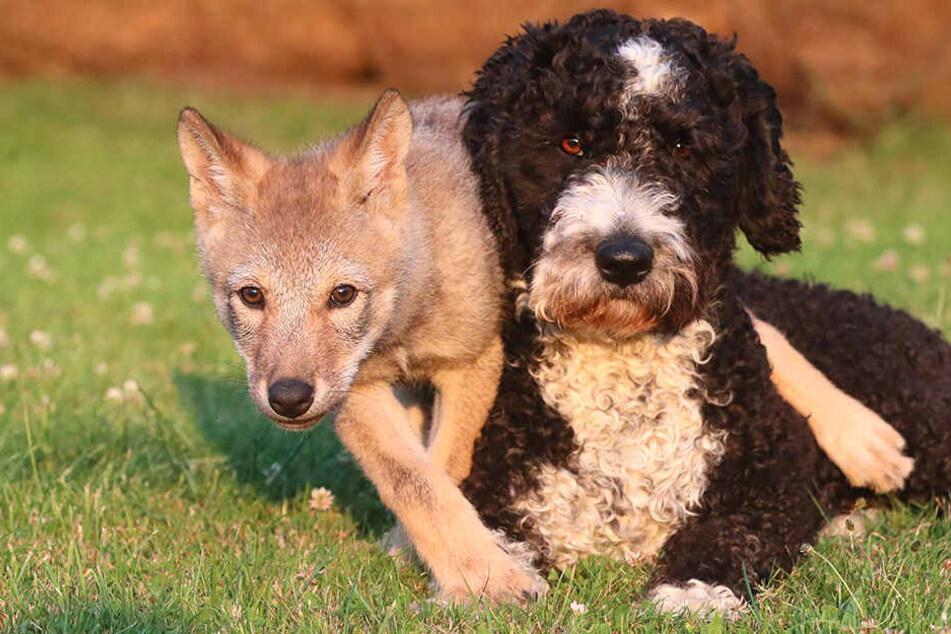 Ziemlich beste Freundinnen. Die kleine sächsische Wölfin mit ihrer Hundepatin.