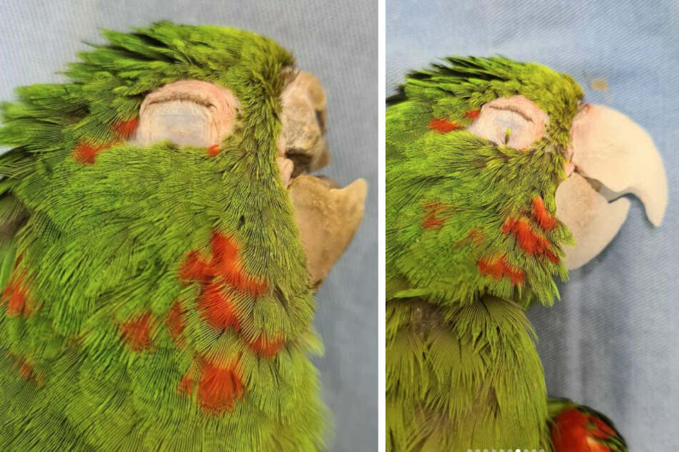 The parrot came in with a broken beak but got a whole new one (collage).