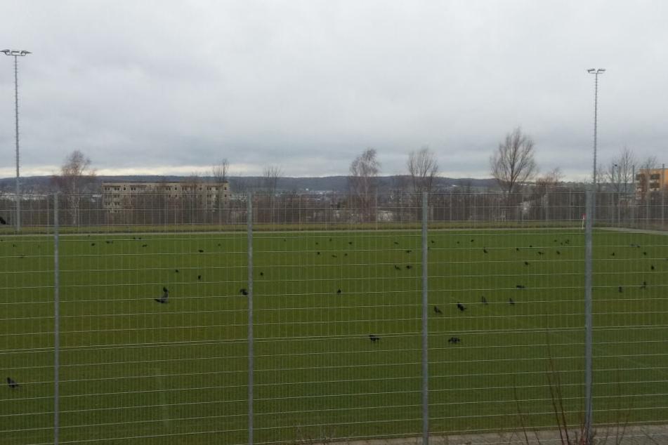 Statt der FSV-Kicker bevölkern Krähen den Platz des FSV Zwickau und malträtieren das Grün.