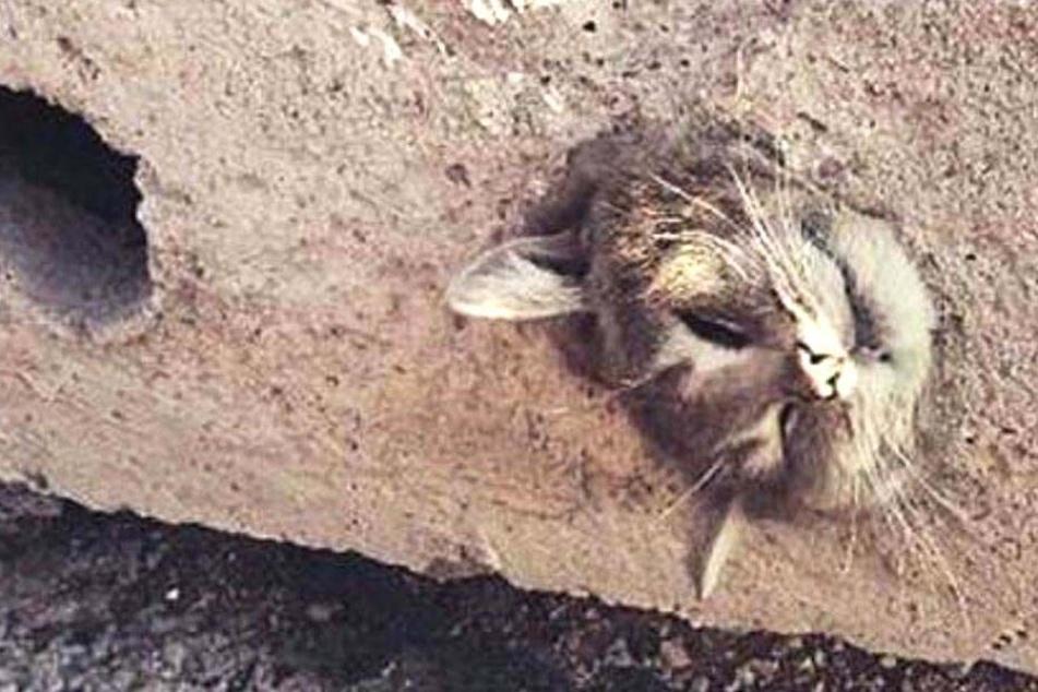 Miautsch! Diese Katze steckt in einer Betonplatte fest