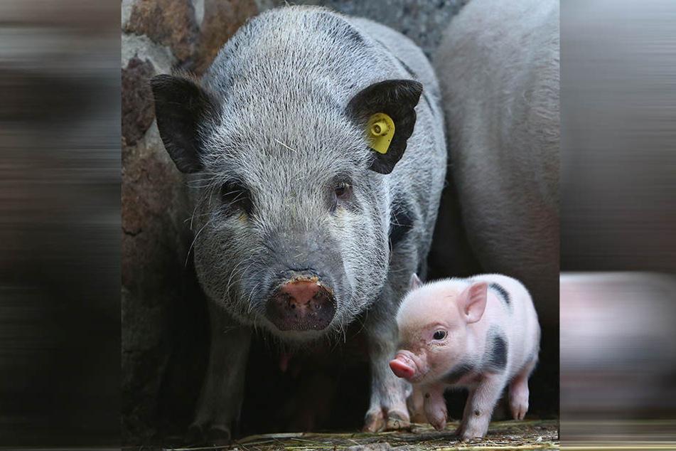 Minischwein-Dame Helga (2) hat sich von der Geburt schon erholt.