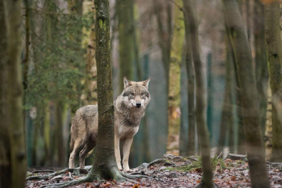 Ein zweiter Wolf auf Wanderschaft ist durch NRW gezogen. (Symbolbild)