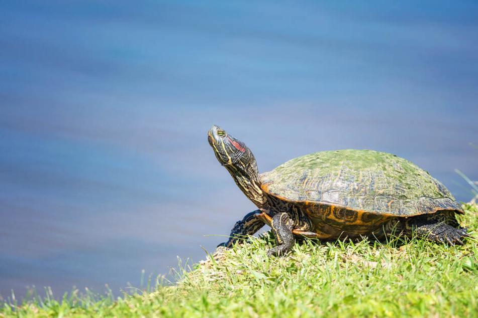 Polizei sucht Besitzer: Wer vermisst eine Schildkröte?