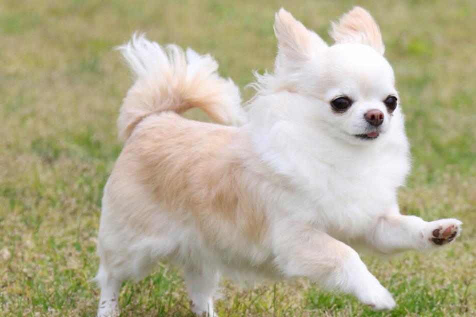 """Hund getötet: Kleiner Chihuahua """"Norbert"""" mit Stock erschlagen!"""