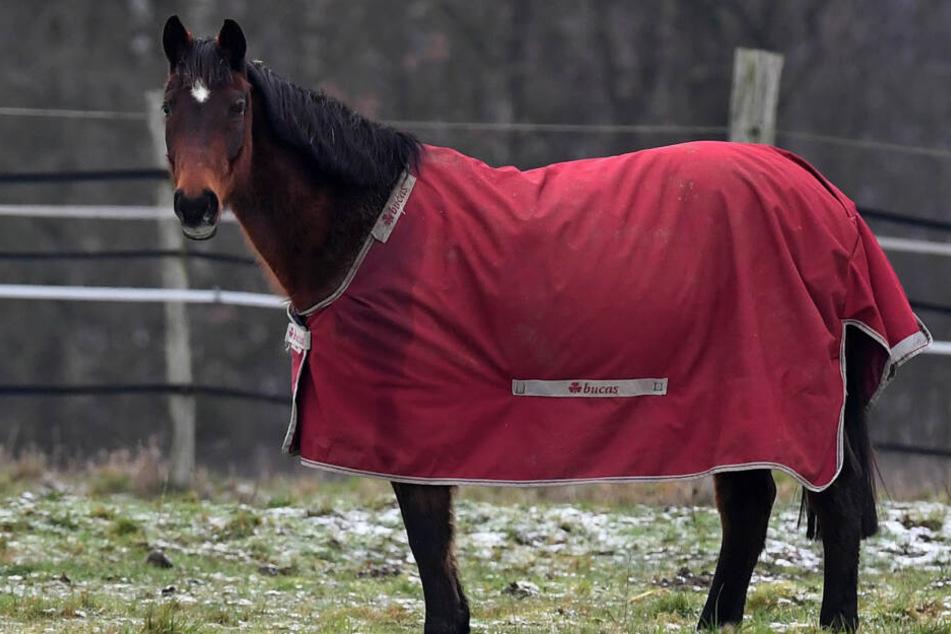 Grausam! Pferd immer wieder in Scheide gestochen und schwer verletzt