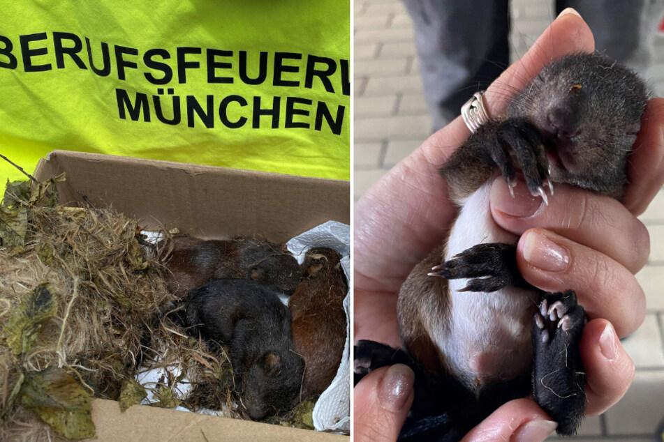 Drei Eichhörnchen-Babys erholten sich bei der Feuerwehr von den Strapazen der Attacke.