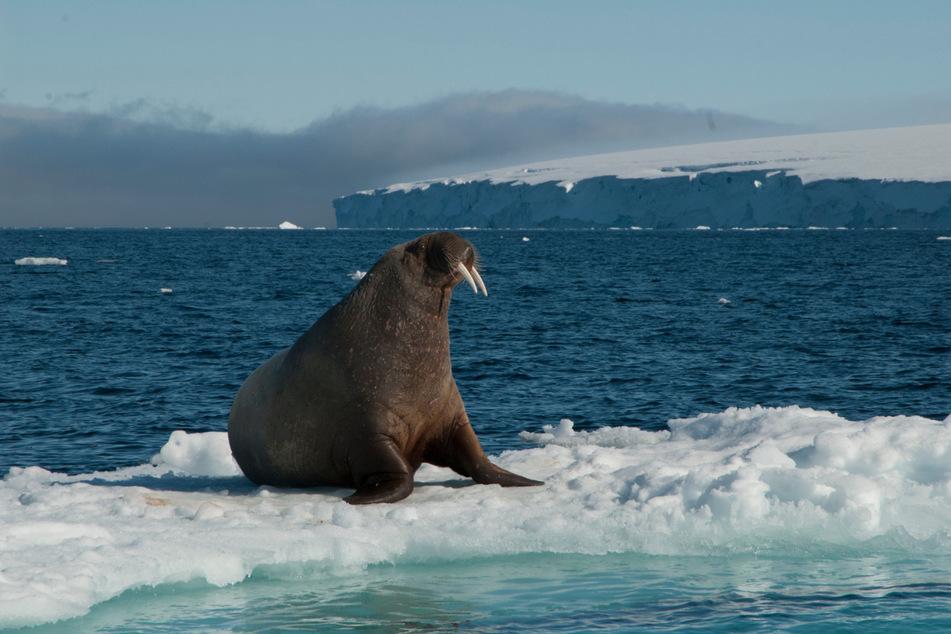 Mit Eurer Hilfe will der WWF zahlreiche Aufnahmen von Satelliten auswerten, um die Anzahl von Walrossen in der Arktis zu bestimmen.