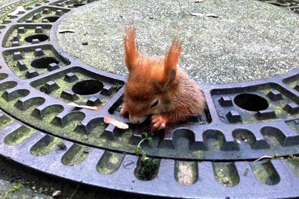 In München ist ein Eichhörnchen in einem Gullydeckel stecken geblieben.