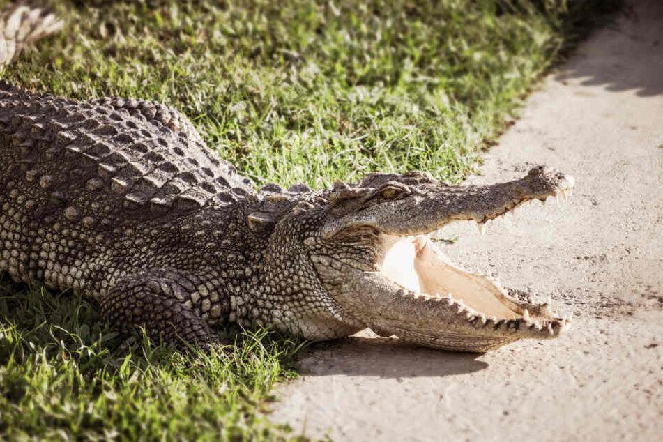 Alligatoren haben gefährlich große Mäuler mit scharfen Zähnen (Symbolbild).