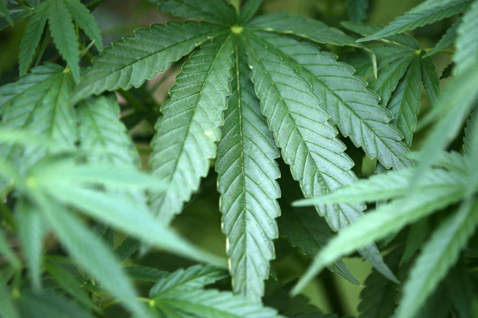 200 Cannabispflanzen im Maisfeld: Am Flughafen klicken die Handschellen
