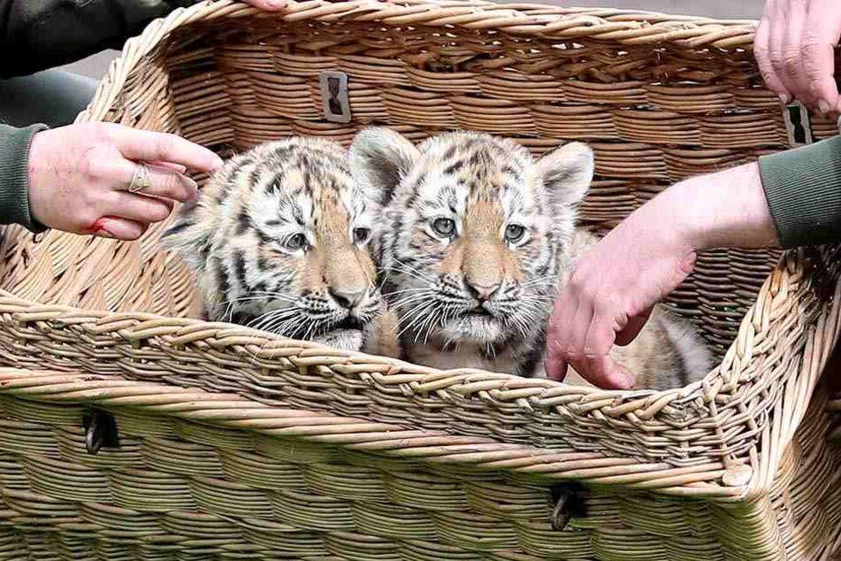 Die süßen Tigerzwillinge kamen im Februar zur Welt.