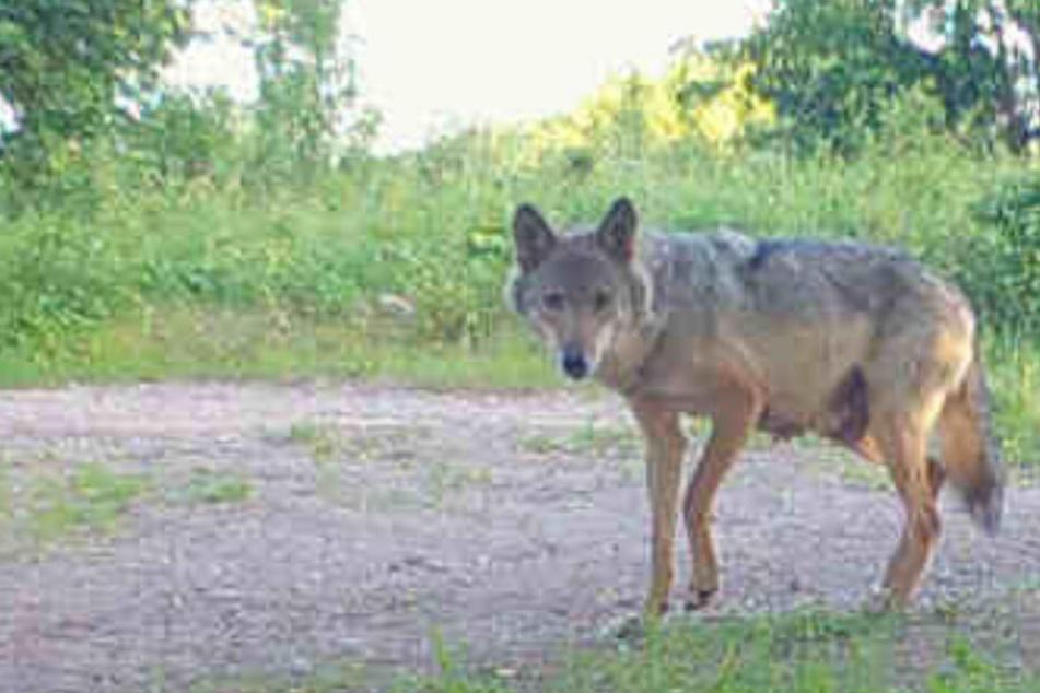 Nach Abschuss von Welpen: Kann die Thüringer Wölfin überhaupt noch Nachwuchs bekommen?