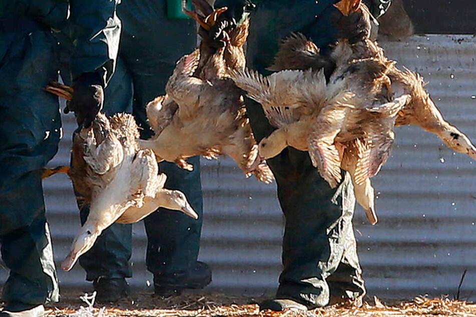 Gut 29.000 weitere Vögel müssen in Delbrück getötet werden. (Symbolfoto)