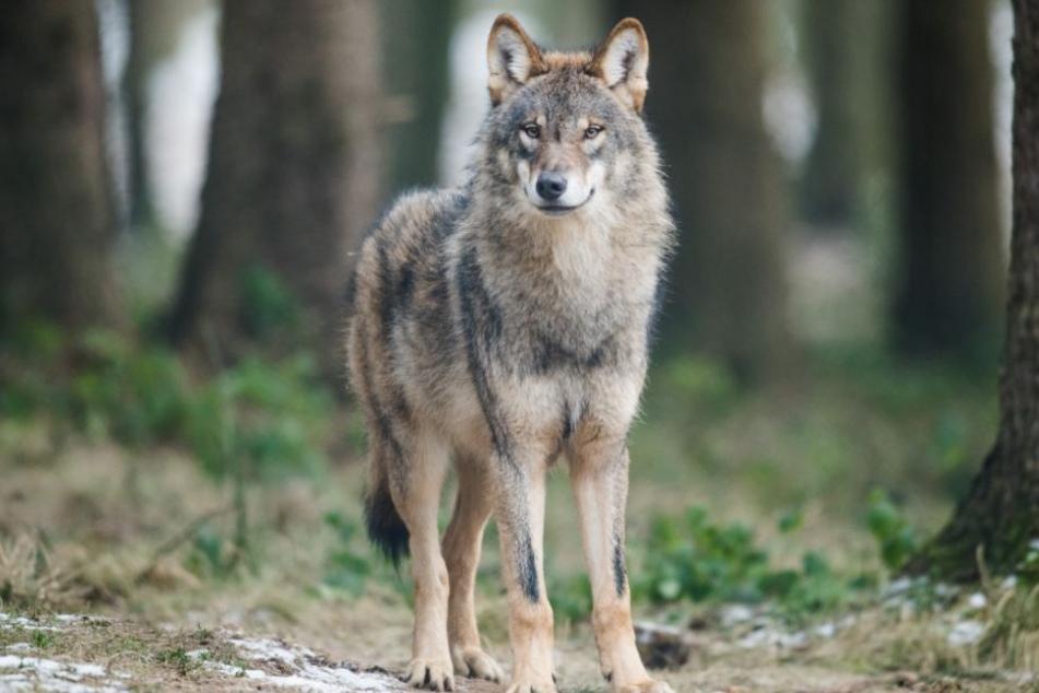 In Nordrhein-Westfalen sind nun schon mehrere Wölfe heimisch geworden.