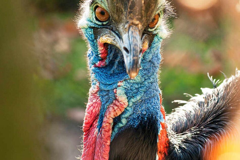 Laufvogel Kasuar