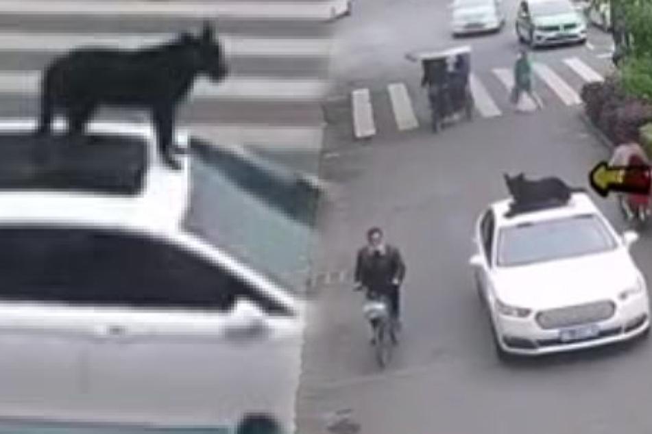 Hund fährt auf Autodach seines Herrchens mit! So rechtfertigt sich der Fahrer