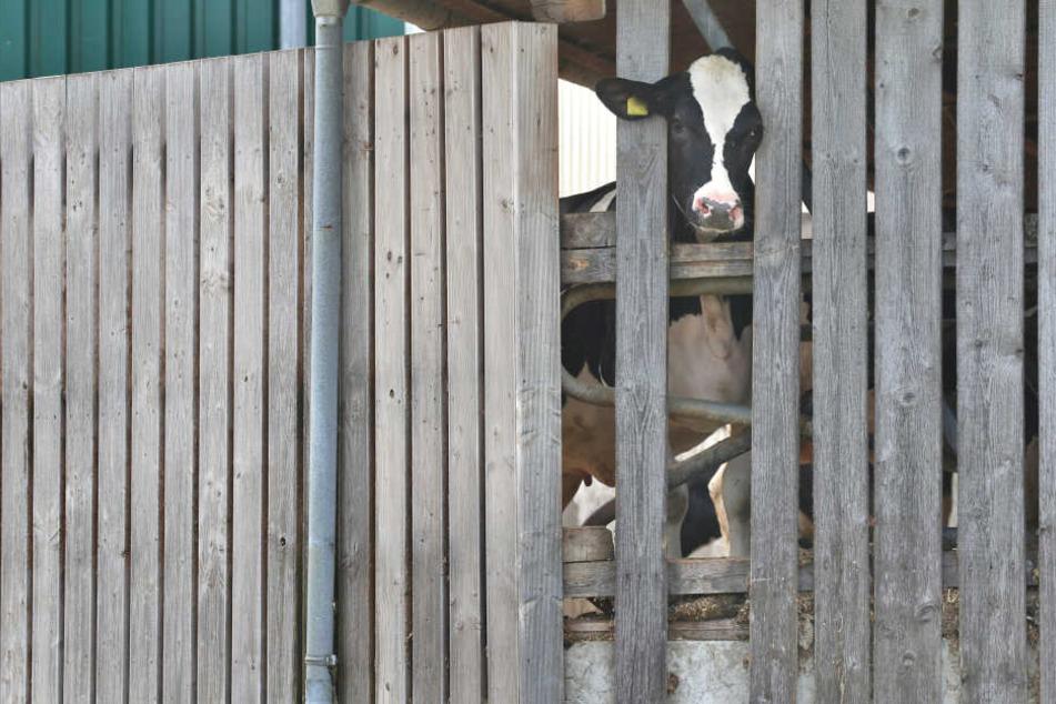 In mehreren Milchbetrieben im Allgäu wird wegen Tierquälerei ermittelt.