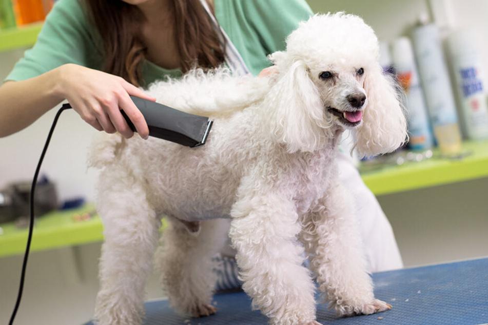 Manche Hunde sollten im Sommer laut einer Züchterin1 auf keinen Fall geschoren werden .