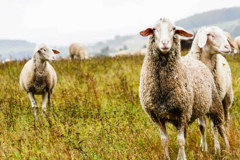 Schaf auf Weide geschlachtet! Kriminelle ließen nur das blutige Fell zurück