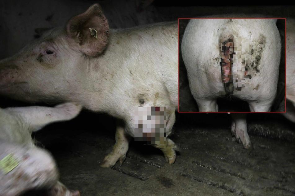 Heimliche Aufnahmen: Verdacht der Tierquälerei in Schweinemastbetrieb