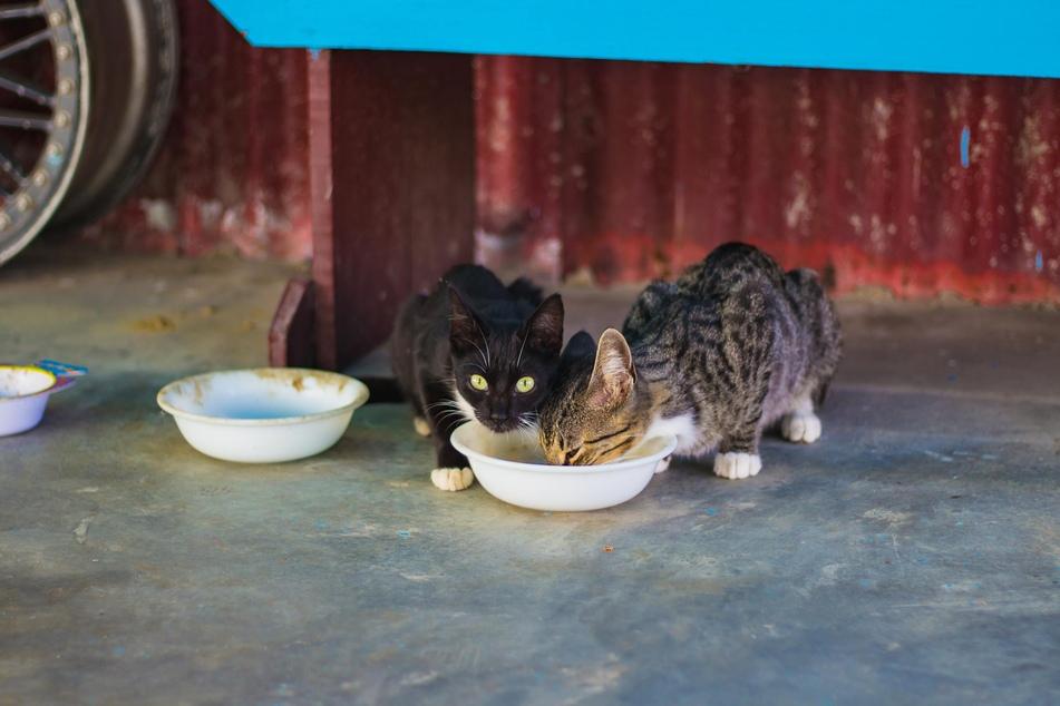 Mehrere Katzen sollten nicht aus einem Napf fressen müssen, da hierdurch Futterneid entstehen kann.