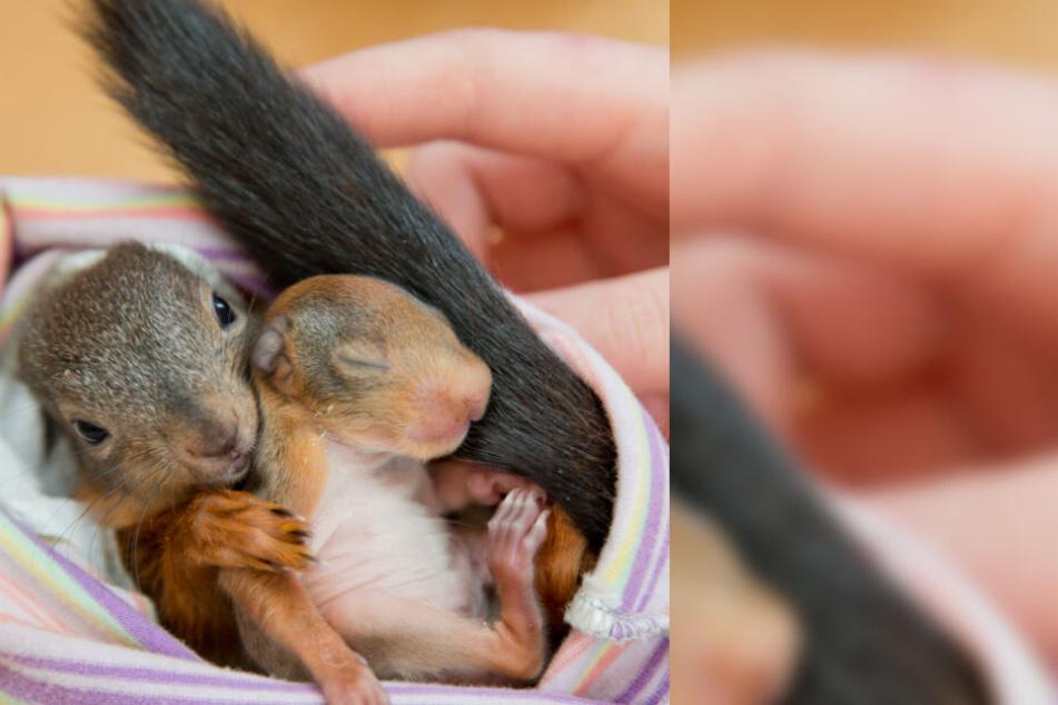 Eichhörnchen-Babys sterben oft, wenn ein Baum gefällt wird.
