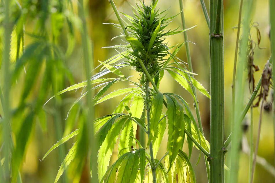Polizei findet satte Anzahl an Cannabis-Pflanzen auf Anwesen eines alten Mannes