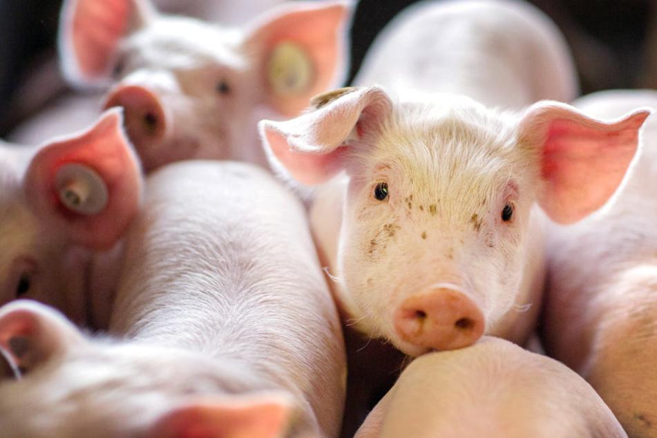 Wenn schon denn schon: Im Schnitt werden 661 Schweine in einem Betrieb gehalten.