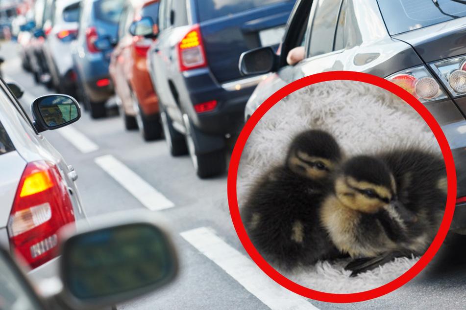 Die beiden Enten-Babys waren auf dem vielbefahrenen Goerdelerring unterwegs.