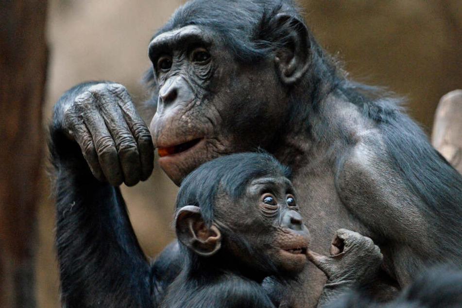 Im Zoo von Frankfurt am Main sitzen zwei Bonobo-Affen und betreiben Fellpflege (Archivbild)