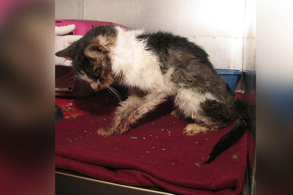 Der kleine Kater Joshua kam in einem sehr schlechten Zustand ins Plauener Tierheim.
