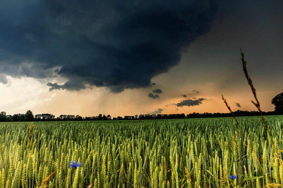 Apokalyptischer Anblick: Über einem Kornfeld in Mittelsachsen braut sich ein mächtiges Gewitter zusammen