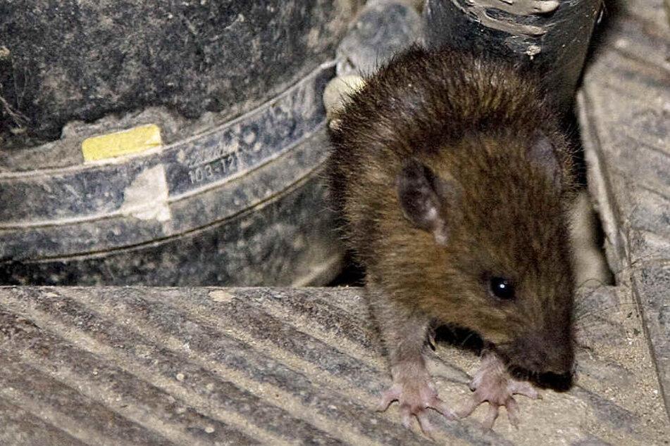 Wieviele Ratten es in Hessen gibt, weiß niemand (Archivbild).