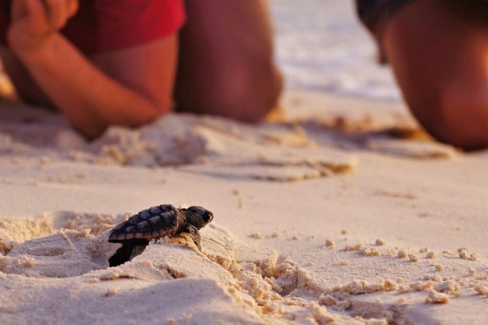 Schildkröten gelten in einigen Ländern als Delikatesse oder fallen Tierversuche zum Opfer.