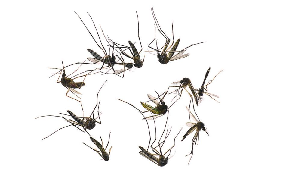 Moskitos sterben in seiner Nähe angeblich wie die Fliegen. (Symbolbild)