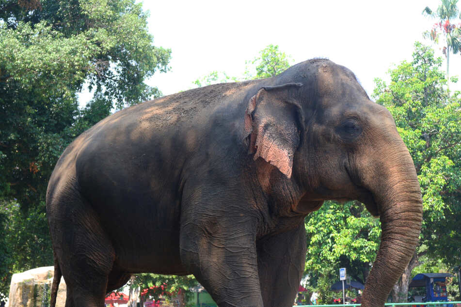 Nur noch wenige Sumatra-Elefanten leben in freier Wildbahn. Sie sind vom Aussterben bedroht.