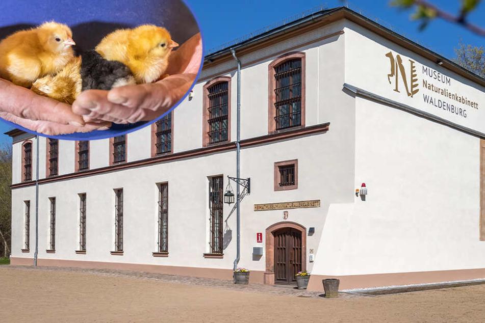 Besucher live dabei: Hier schlüpfen bald süße Oster-Küken